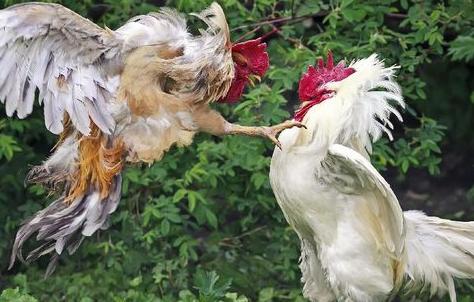 Cara Paling Tepat Merawat Ayam